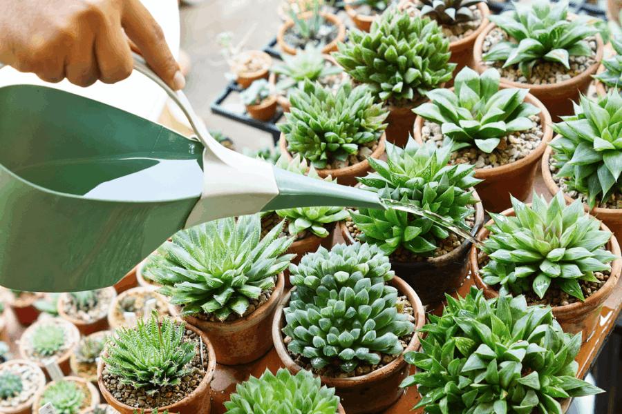 How often succulents need water