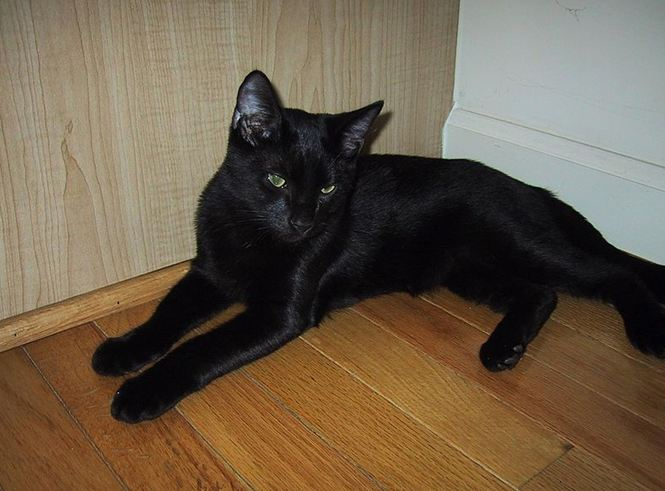 Bombay Cat Breeds: All You Need to Know
